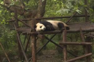This panda's opportunity cost of work is very high. Too high to get him to do any of it.